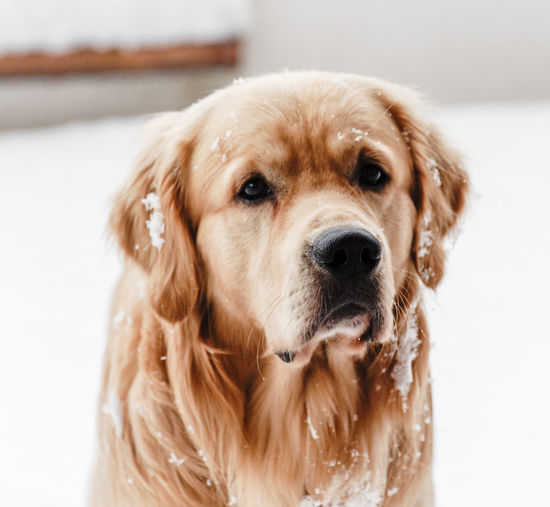 Portrait Of Golden Retriever With Snow During Winter