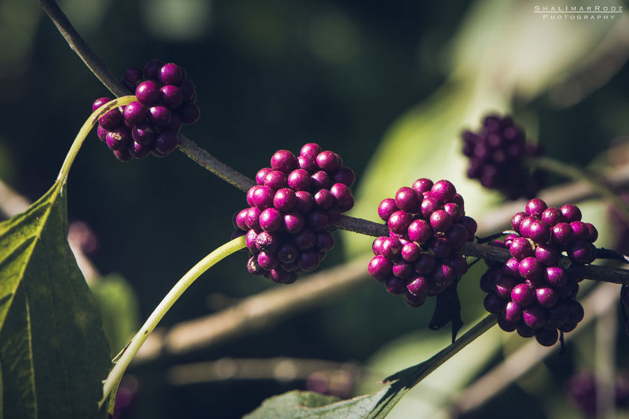 Agriculture Beauty In Nature Berry Fruit Bunch Close-up Day Focus On Foreground Food Food And Drink Freshness Fruit Growing Growth Healthy Eating Nature No People Outdoors Plant Raw Coffee Bean Red