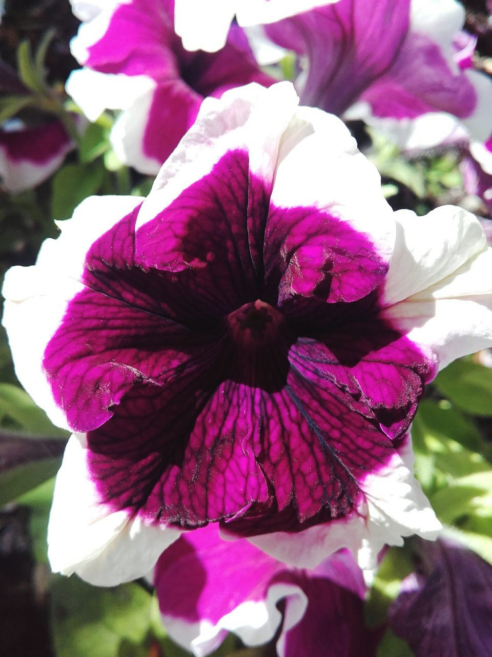 flower, petal, fragility, flower head, freshness, beauty in nature, nature, growth, petunia, outdoors, day, close-up, plant, springtime, no people, blooming
