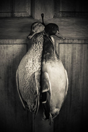 Ducks hanging ready to be plucked Animal Cooking Duck Ducks Food Fresh Fresh Produce Game Hanging Hung Hunting Kitchen Mallard Duck Mallards Meat Two Animals