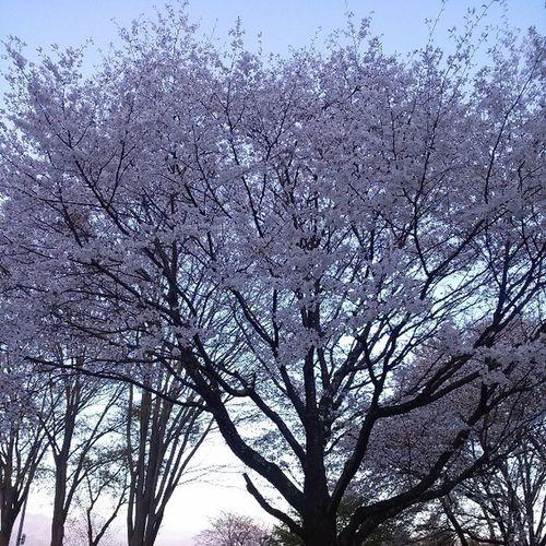 未だに桜が咲いている。特に今年は咲いた後に冷え込んだので散るのが遅いらしいけど。