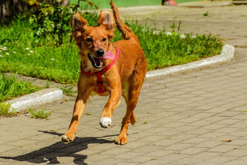 Portrait of dog running on footpath