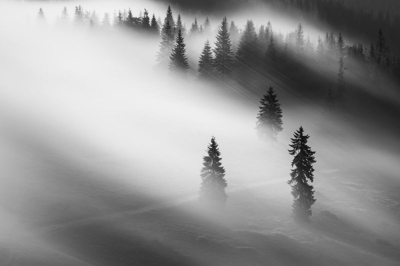 Silhouettes trees in forest during foggy weather