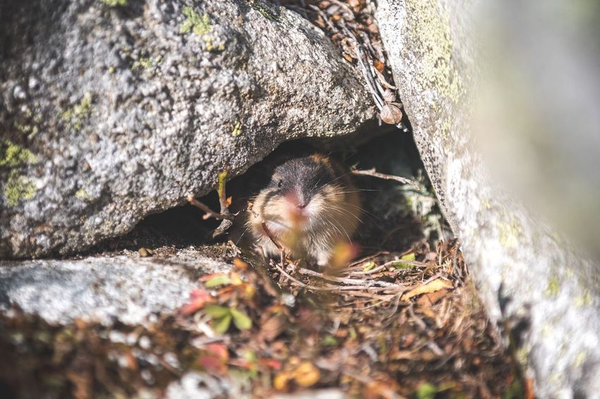 Hello what's up 👋🏻 One Animal Animal Themes Animals In The Wild Mammal Lemming Outdoors Nature Trekking Norway Close-up Animal Wildlife Exploring Friends Little