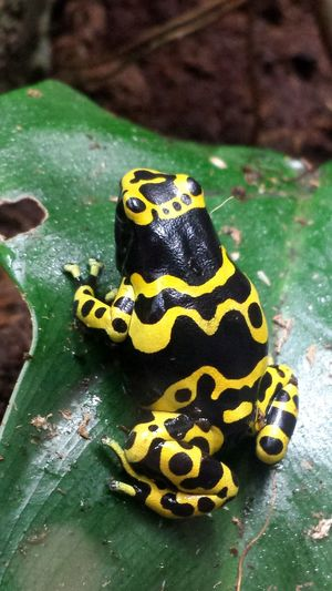 Close-Up Of Yellow-Banded Poison Arrow Frog On Leaf