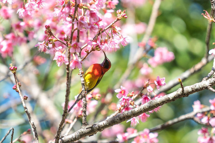 Sunbird on Cherry blossom tree. Sakura Thailand Animal Animal Themes Animal Wildlife Animals In The Wild Beauty In Nature Bird Branch Cherry Blossom Flower Flower Head Flowering Plant Focus On Foreground Fragility Freshness Growth No People One Animal Outdoors Perching Pink Color Plant Pollination Springtime Sunbirds Tree Vertebrate