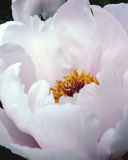 Close-up of pink peony blooming outdoors