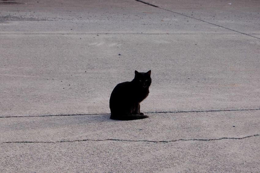 Cat Straycat Black Cat Zorba