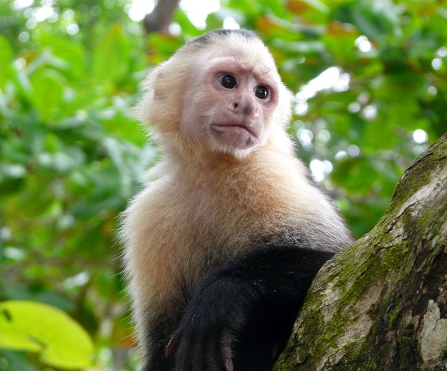 White-faced capuchin monkey, national park of Cahuita, Caribbean, Costa Rica Animal Hair Animal Head  Animals In The Wild Cahuita Cahuita National Park Capuchin Monkey Carribean Costa Rica Emotion Forest Green Color Jungle Looking Mammal Monkey Monochrome Nature No People One Animal Outdoors Portrait Rain Forest Tropical White Background Wildlife