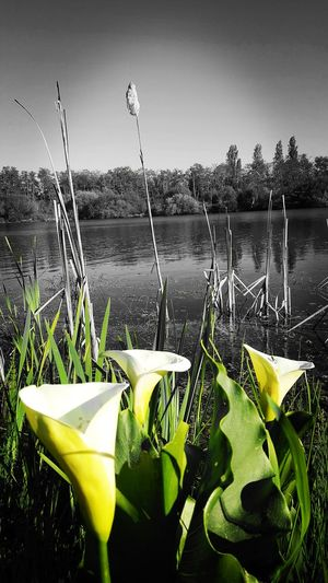 No People Green Color Outdoors Grass Nature Freshness Mimizan-Village, France Laguna Lago Lagoon Tranquility Sunlight Tranquil Scene Scenics Beauty In Nature Nature Water Flower Calla Lily