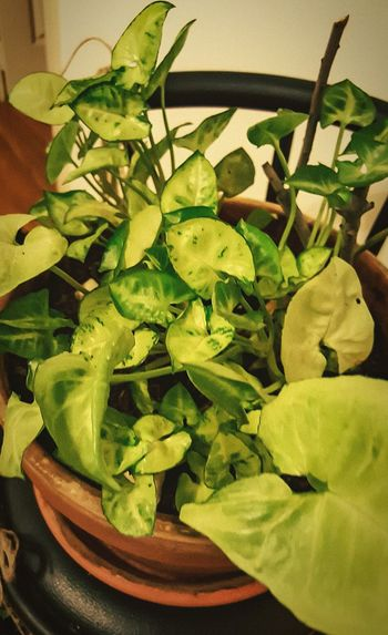 Pot Plants Check This Out Taking Photos Potted Plant EyeEm Nature Lover EyeEm Best Shots - Nature Eye Em Nature Lover Green Leaf Leaves Unruly Eye4photography  Green Nature Green Color Pothography Potography Beauty In Nature Beautiful Nature Beautiful Homedecor Plants Collection Plants