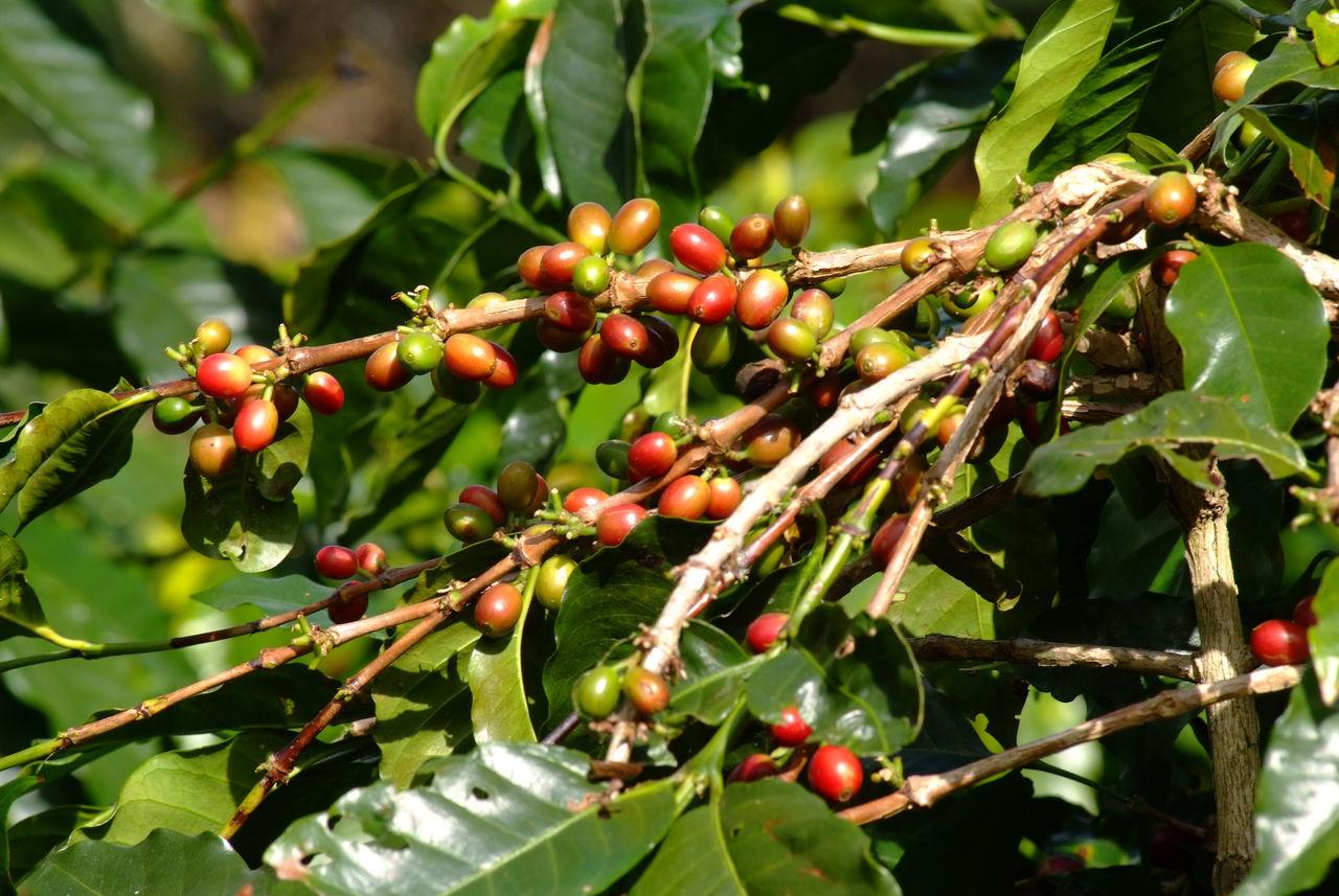 BERRIES GROWING ON TREE