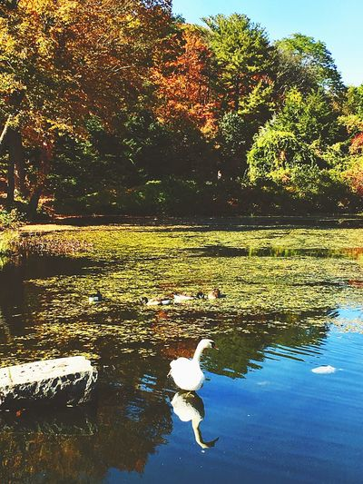 My Year My View Duck Pond Water Reflections Reflection Nature Tranquil Scene Geese Sunlight Ducks Floating On Water Peaceful Serene Outdoors Nature EyeEm Nature Lover Eye Em Best Shots - Nature Serenity Trees WoodLand Fallen Leaves Pond Life Wetland Landscape Cloudscape Fall Beauty