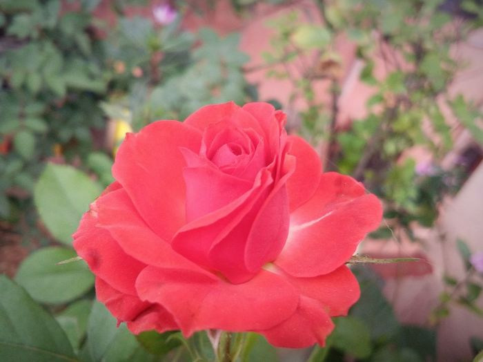 Flower Beauty In Nature Petal Red Plant Flower Head Day
