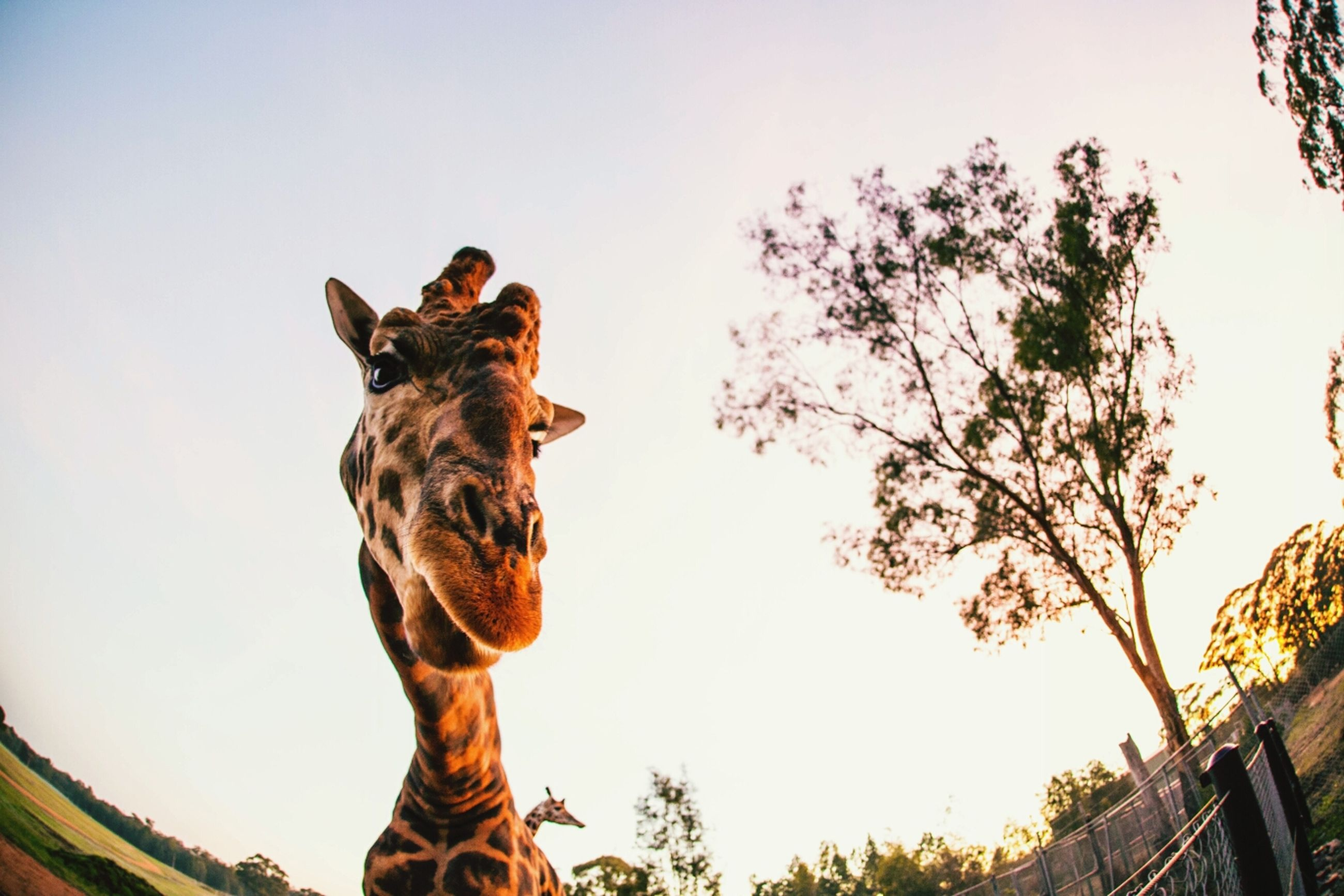 low angle view, animal themes, one animal, tree, statue, clear sky, sculpture, art and craft, sky, human representation, art, animal representation, day, creativity, mammal, no people, outdoors, giraffe, nature
