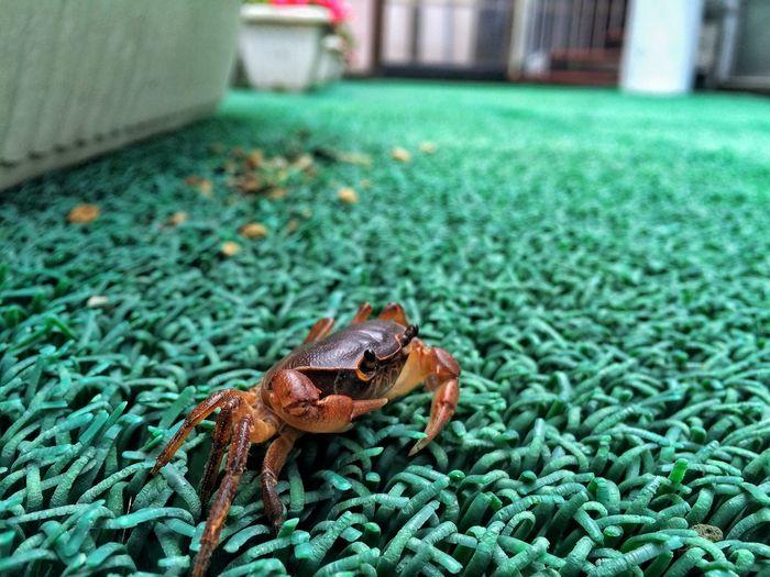 Where u go Crab