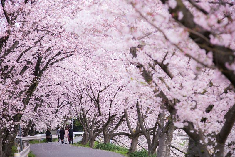 桜トンネルで入学記念写真 Nara Spring Japan Japan Photography Tree Flower Branch Springtime Blossom Pink Color Cherry Tree Botany Cherry Blossom Close-up