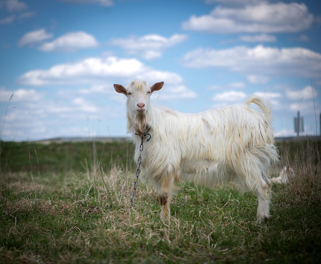 Agriculture Animal Themes Backgrounds Business Finance And Industry Cattle Breeding Cloud - Sky Day Domestic Animals Farm Field Goat Grass Landscape Latvia Livestock Mammal Nature No People One Animal Outdoors Pasture Sky White Work