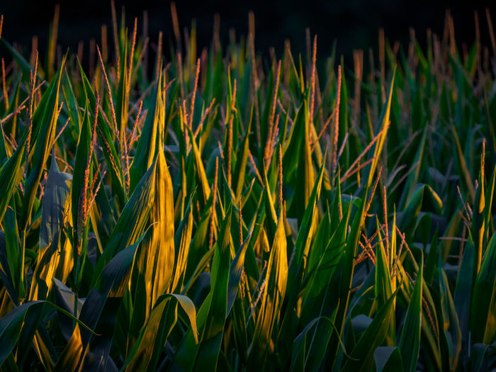 Close-up of fresh yellow grass on field