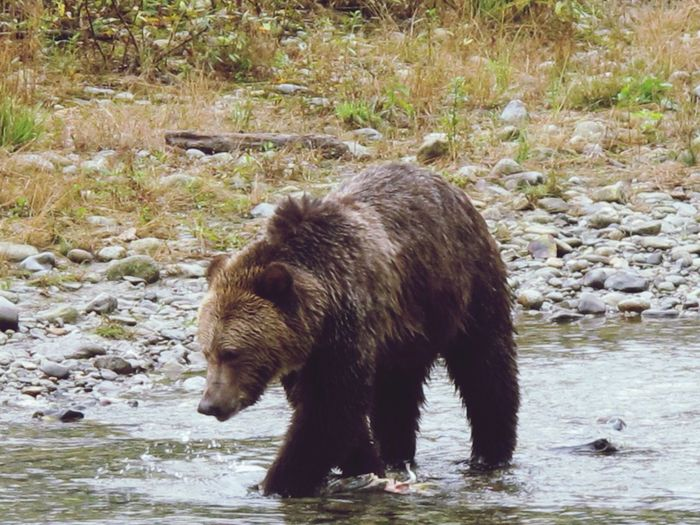Brown Bear Searching Fish In River