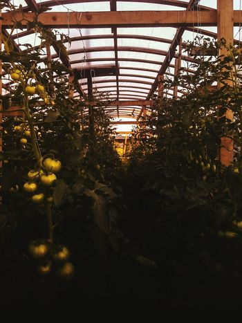 Plant Growth Tree Greenhouse No People Agriculture Nature Scenics Sky Beauty In Nature Food Plant Nursery Freshness Background Green Green Color Fern Tomatoes. Green Tomatoes Tomatoes🍅🍅 Tomatoes Growing Plants Growing In Greenhouse Breathing Space Food Stories