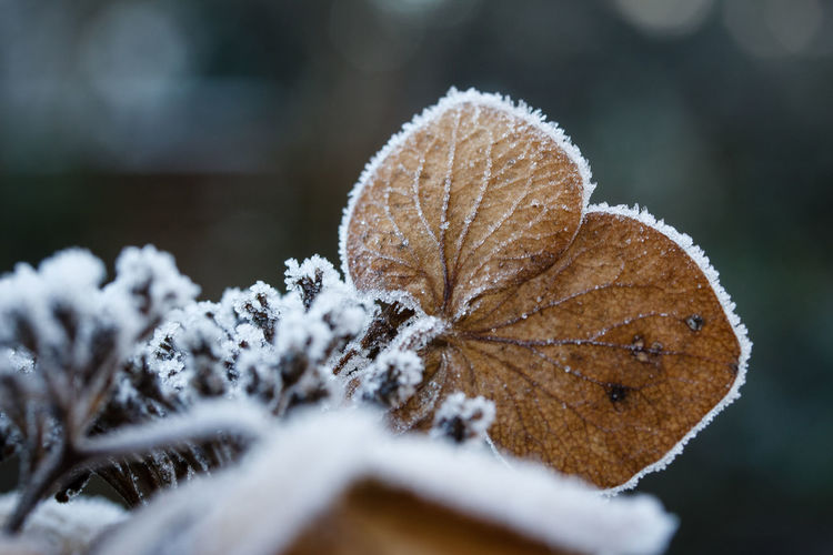 Winter Cold Temperature Snow Nature Close-up Day Selective Focus Frozen Frost Plant Ice Outdoors Tree Leaf Brown Snowing EyeEmNewHere