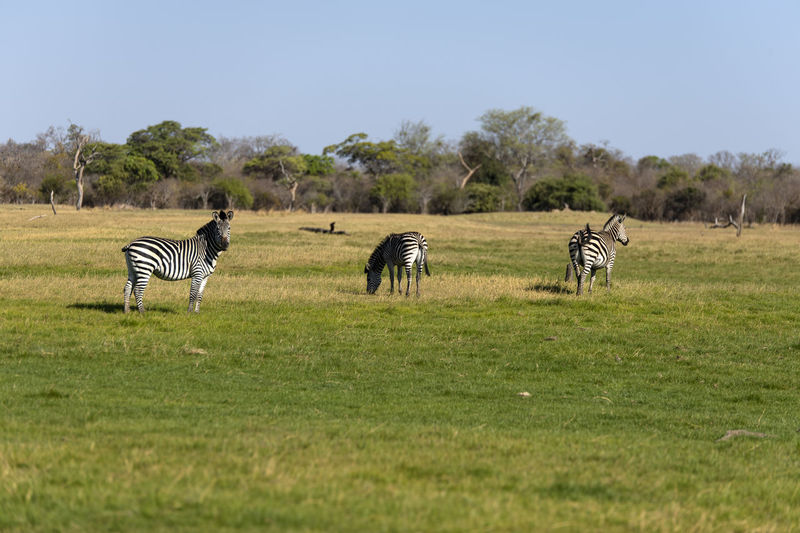 View of zebra on grassy field