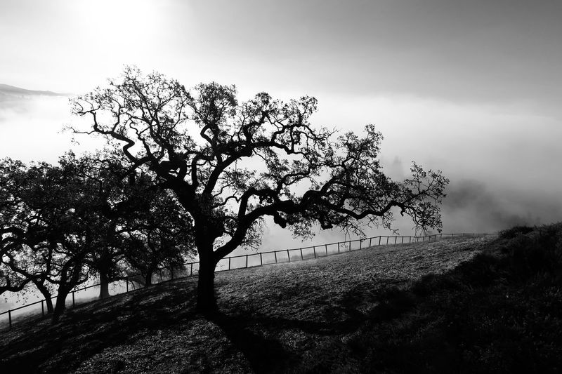 Black and white landscape of a field and bare tree in fog Sillhouette Bare Tree Black And White Plant Tree Sky Growth Nature Beauty In Nature No People Low Angle View Tranquility Day Cloud - Sky Outdoors Branch Silhouette Environment Land Tranquil Scene Scenics - Nature Sunlight Plant Part