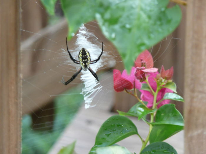 One Animal Insect Animal Themes Animals In The Wild Leaf Wildlife Flower Fragility Selective Focus Freshness Close-up Plant Growth Nature Pink Color Springtime In Bloom Petal Single Flower Focus On Foreground Gardenspider Standrewscrossspider Writingspider