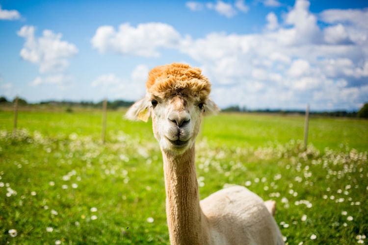 Alpaca standing on grassy field