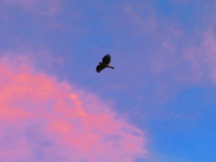 Hawk at sunrise Colorful Sunrise Pink And Blue Sky Sunrise Hawk - Bird Hawk Bird Flying Bird Of Prey Sunset Mid-air Spread Wings Silhouette Sky Animal Themes Sky Only Colorful