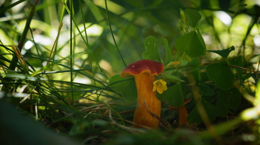 Beauty In Nature Botany Close-up Day Flower Focus On Foreground Freshness Fungi Fungus Green Green Color Growing Growth Mushroom Nature Non-urban Scene Outdoors Plant Red Red Selective Focus Surface Level Toadstool Tranquility Uncultivated