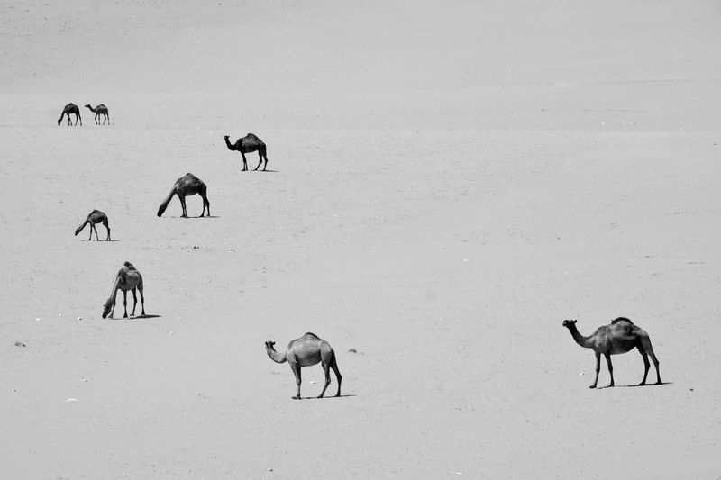 Black And White Friday Animal Themes Mammal Outdoors Nature Animals In The Wild Day Large Group Of Animals Field EyeEm Selects Nature Tranquility Saudi Arabia Fujifilm Repetition Monochrome Tranquil Scene