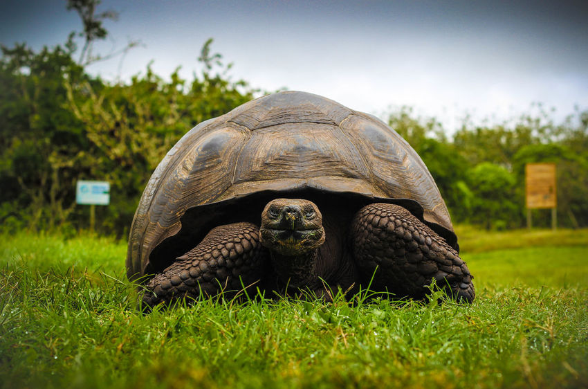 Galápagos Islands, Ecuador Galapagos Galapagos Islands Travel Animal Shell Animal Themes Animal Wildlife Animals In The Wild Close-up Day Giant Tortoise Grass Green Color Natural Habitat Nature No People One Animal Outdoors Reptile Tortoise Tortoise Shell Turtle