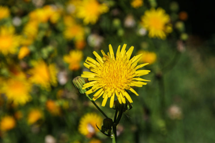 Yellow wildflower Beauty In Nature Blooming Blooming Flower Blossom Canon60d Canonphotography EyeEm Gallery Field Flower Flower Head Focus On Foreground Growth In Bloom Nature Petal Plant Selective Focus Sow Thistle Wildflowers Yellow