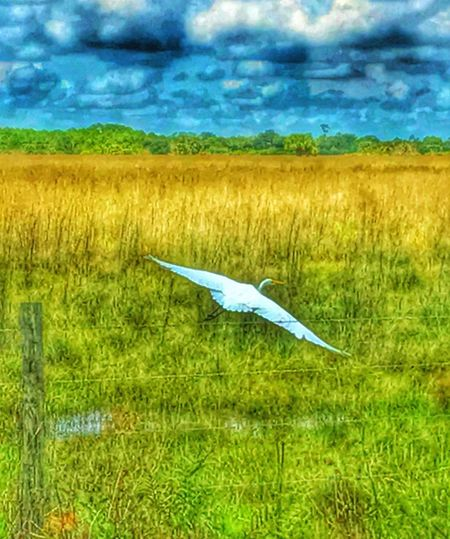 Heron Taking Flight Beautiful Florida Pasture, Paddock, Grassland, Pastureland this is from my photo shoot at the preserve last week. I'm waiting for paint to dry. St Sebastian River Preserve State Park