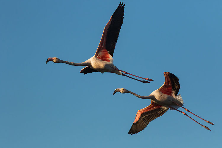 Low angle view of greater flamingo flying in sky