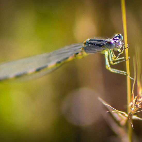 Animals In The Wild Insect Close-up Macro Photography Macro Macro_collection Damselfly Series Damselflies Damselfly