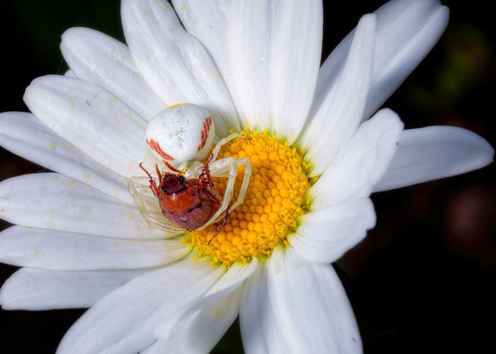 Close-up of insect on white flower