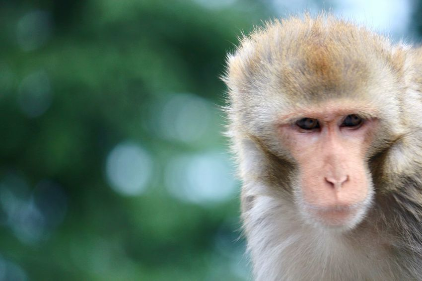 Portrait Close-up Looking At Camera Ape The Portraitist - 2017 EyeEm Awards One Animal Mammal Headshot Outdoors Animals In The Wild The Street Photographer - 2017 EyeEm Awards EyeEmNewHere Rhesus Rhesus Macaque Monkey One Person Nature