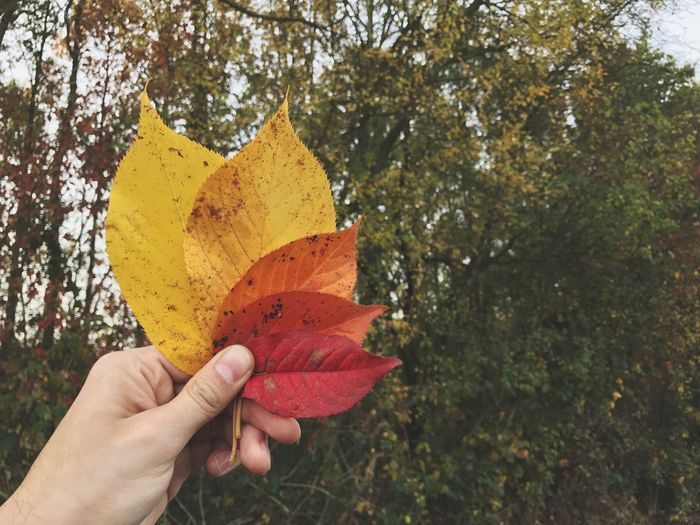 Autumn Leaves Hand Holding Human Hand Leaves Real People Human Body Part One Person Human Finger Change Lifestyles Yellow Personal Perspective Close-up Tree Day Outdoors Nature