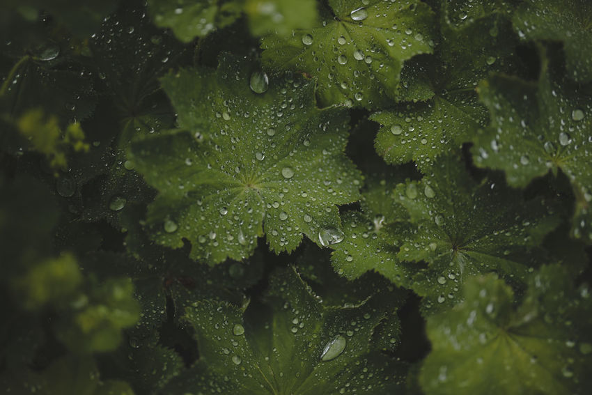 Water droplets on leaves. 16:9 Beauty In Nature Close-up Dark Green Leaves Day Drop Freshness Green Color Green Color Growth Leaf Leaves Life Of Plants Macro Macro Photography Nature No People Outdoors Planet Eartn Shallow Depth Of Field Water Water Droplets Widescreen World