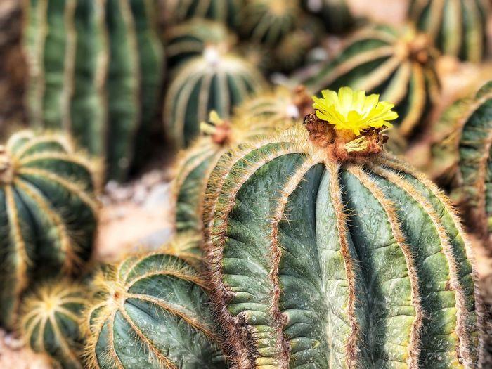 cactus Tropical