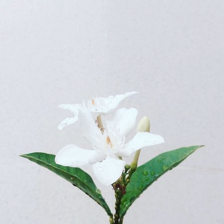 Also in my IG. @she.kliche Flower Plant Nature Close-up Photo EyeEm Nature Lover Photograph Beauty In Nature Minimalist Minimalism Minimal Naturephotography Minimalism Photography Aesthetic White White Aesthetic Green Leaves Wet Leaves Wet Flower Raindrops