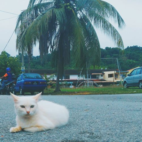 White one. Domestic Cat Pets Domestic Animals Mammal Animal Feline Looking At Camera Animal Themes Asus EyeEm Gallery Eyeem Photography AsusPixelMaster Zenfone Photography Asuszenfonemaxphotography Zenfonemax Zenfoneglobal Malaysia EyeEm Best Shots EyeEm Team Asuszenfone Zenfonemalaysia EyeEm Zenfonegraphy Zenfonephotography Zenfonecam