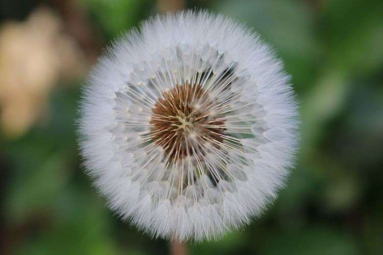 Dandelion White Color Nature Close-up Focus On Foreground Growth Beauty In Nature Photo 사진 자연 민들레 Dandelion Seed 민들레홀씨 Yeongju, Korea