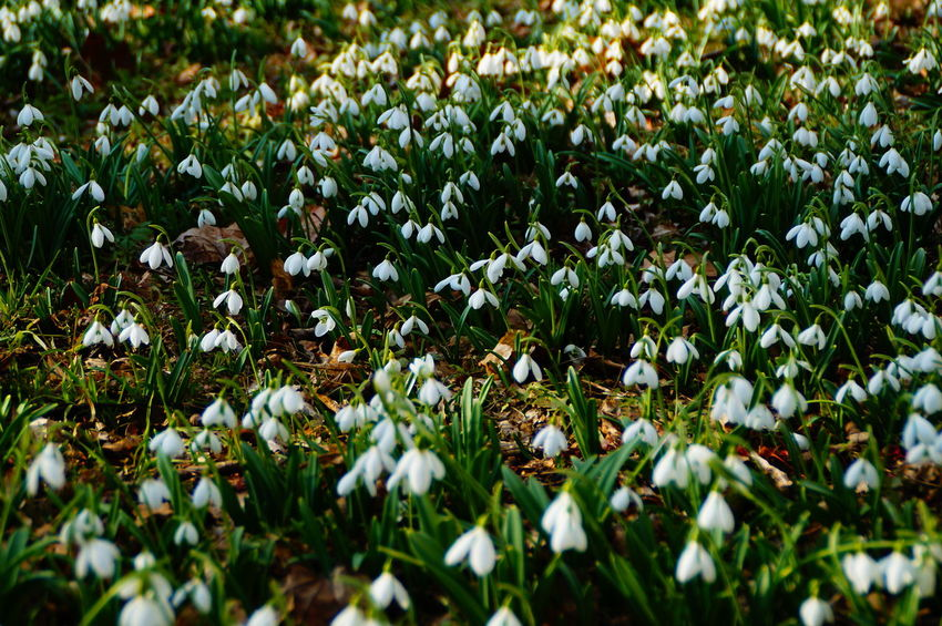 Green And White Beauty In Nature Day Green And White Colour Growth Lot Of Snowdrops Nature No People Outdoors Snowdrop Snowdrops Snowdrops Field Snowdrops In The Sunshine Spring Spring Is Coming  White Flowers Winter Go Away
