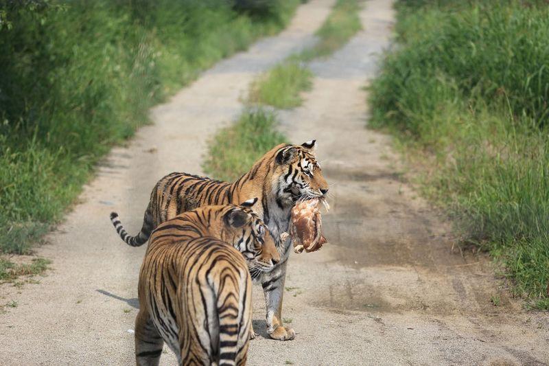 Prayers Tigers