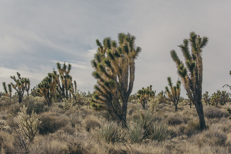 Arid Climate Beauty In Nature Day Desert Growth Landscape Nature No People Outdoors Plant Saguaro Cactus Scenics Sky Tranquil Scene Tranquility Tree