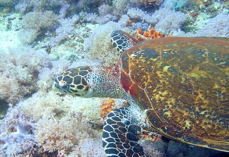 Pilippines Under The Sea Underwater Diveing Sea Meet Turtle